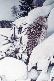 Chouette rayé / Barred Owl