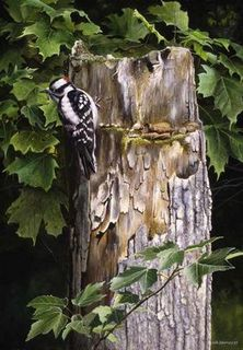 Pic mineur / Downy Woodpecker