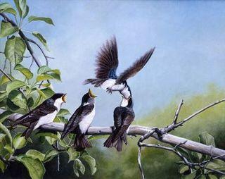 Hirondelles bicolores / Tree Swallows